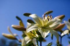 Белые лилии на голубой предпосылке Стоковое Изображение