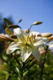 Белые лилии на голубой предпосылке Стоковое фото RF