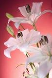 Белые лилии на красной предпосылке Стоковое фото RF