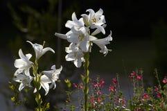 Белые лилии против темной предпосылки Стоковое Фото