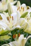 Белые лилии Стоковое Фото