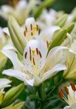 Белые лилии Стоковая Фотография RF