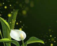 Белые лилии calla на темной предпосылке иллюстрация вектора