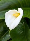Белые лилии Calla с лист Стоковые Изображения