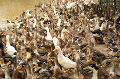 Белые и коричневые утки на ферме Стоковое Изображение RF