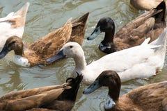 Белые и коричневые утки скапливают заплывание на лагуне Стоковые Изображения