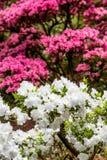Белые и розовые азалии Стоковое Изображение RF