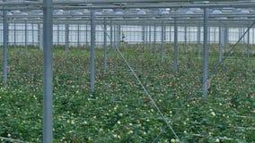 Белые и розовые розы растя наряду с одином другого в парнике 4K сток-видео