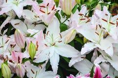 Белые и розовые цветки лилии Стоковая Фотография RF