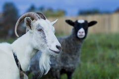 Белые и серые овцы козы Стоковые Изображения RF