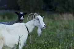 Белые и серые овцы козы Стоковое Изображение