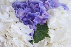 Белые и фиолетовые гортензии и зеленые лист среди их Стоковое Фото