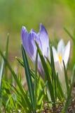 Белые и фиолетовые крокусы Стоковые Изображения