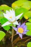 Белые и фиолетовые цветки лотоса на зеленой предпосылке Стоковая Фотография