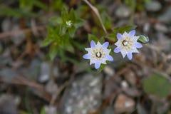 Белые и фиолетовые Wildflowers звезды точки польки Стоковая Фотография RF