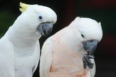Белые какаду Стоковые Изображения RF