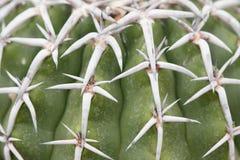 Белые кактусы позвоночника стоковые изображения