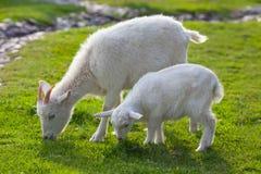 Белые козочки на ферме Стоковая Фотография
