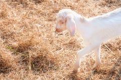Белые козы в ферме, козе младенца в ферме Стоковые Фотографии RF