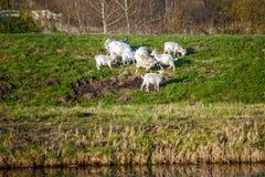 Белые козы на выгоне с зеленой травой Стоковые Фото