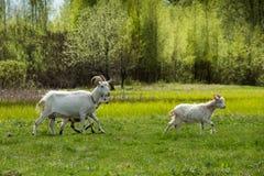Белые козы пася на поле Стоковое Изображение RF