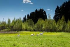 Белые козы пася на поле Стоковая Фотография