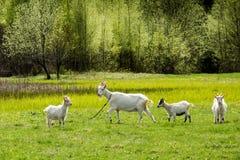 Белые козы пася на поле Стоковое фото RF