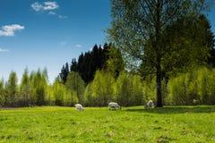 Белые козы пася на поле Стоковое Фото