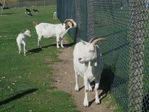 Белые козы против загородки Стоковое Фото