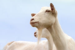 Белые козы Стоковая Фотография