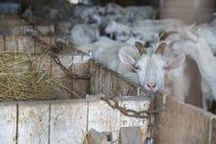 Белые козы Saanen швейцарца на ферме Стоковое Изображение RF