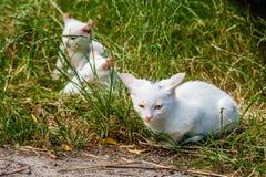 Белые коты сидят в зеленой траве на летний день Стоковая Фотография