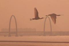 Белые колпицы летят в Реку Qiantang Стоковые Фото