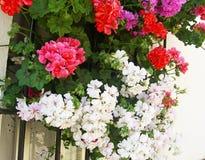 Белые, красные гераниумы и фуксии на окне Стоковая Фотография