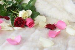 Белые красные и розовые розы флористические на текстуре предпосылки меха Стоковые Изображения