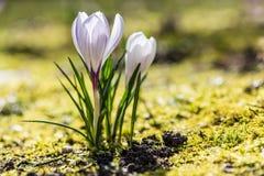 Белые крокусы растя снаружи Стоковое Изображение RF