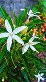 Белые крошечные цветки стоковая фотография rf
