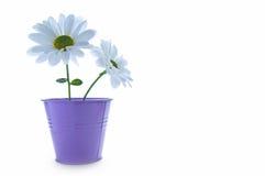 Белые маргаритки весны Стоковая Фотография