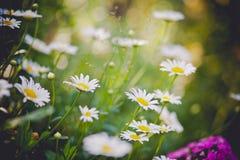 Белые маргаритки в саде лета стоковое фото