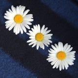 Белые маргаритки в саде на голубой предпосылке Стоковые Фото