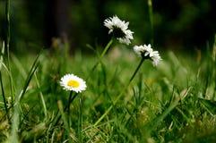 Белые маргаритки в траве Стоковое Изображение