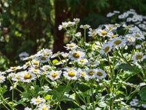 Белые маргаритки лета Стоковые Фото