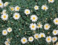 белые маргаритки зацвели весной с листьями Стоковые Фото