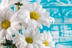Белые маргаритки на голубой деревянной предпосылке Стоковые Фотографии RF