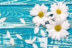 Белые маргаритки на голубой деревянной предпосылке Стоковое Изображение RF