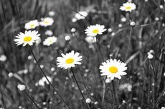 Белые маргаритки - селективная десатурация Стоковое Изображение