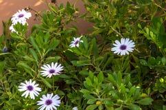 Белые маргаритки с фиолетовым центром Стоковое Фото