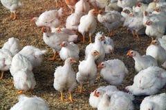 Белые молодые цыплята стоковое фото