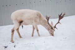 Белые мужские олени Стоковые Изображения