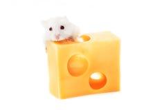 Белые мышь и сыр Стоковая Фотография RF